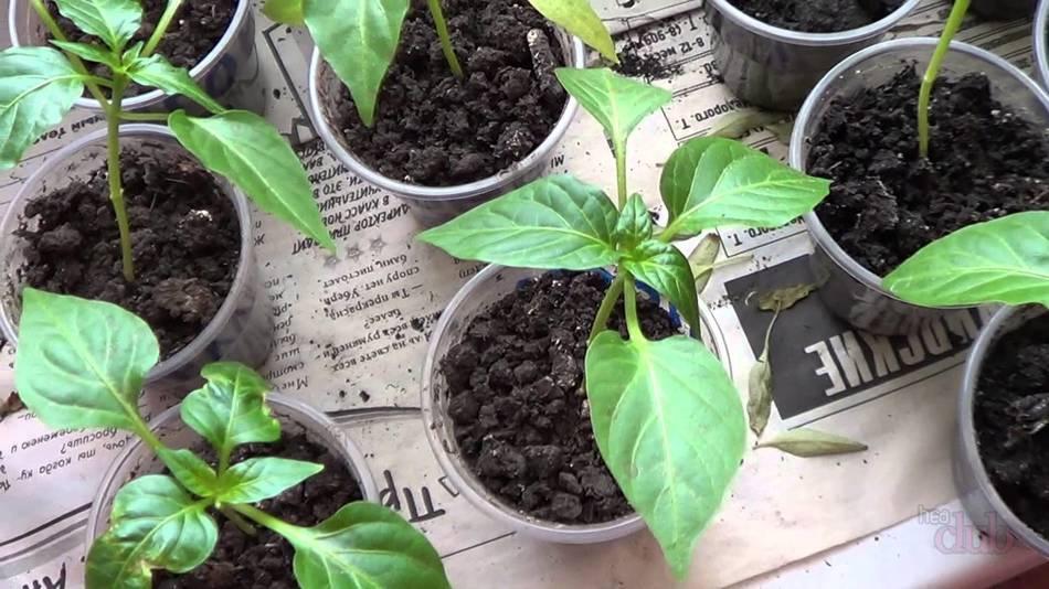 Вырастить рассаду сладкого перца в домашних условиях